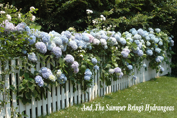 and_the Summer _brings Hydrangeas